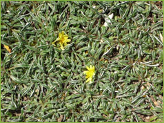 Clification Ground Cover Perennial Description Forms A Mat 2 3 In High Deep Grayish Green Leaves Flower Summer Flowers Are Yellow