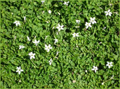 Clification Ground Cover Perennial Description Bright Green Nearly Stemless 1 4 In Leaves Flower Tiny Star Shaped Blue Or White Flowers