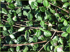 Valley growers nursery inc plant gallery classification evergreen ground cover shrub or vine description small leaves in darker dull green dense low growth habit flower yellowish white mightylinksfo